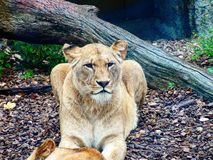 Lion. Ess lying around in Viena zoo Royalty Free Stock Image