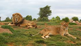 Lion and lioness. Lying down and resting Royalty Free Stock Image