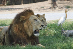 Lion and lioness lying on green field Royalty Free Stock Photos