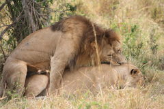 Lion and lioness mating. Male lion and lioness mating in the Masai Mara Kenya stock images
