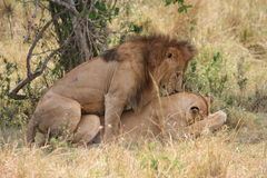 Lion and lioness mating. Male lion and lioness mating in the Masai Mara Kenya royalty free stock photo