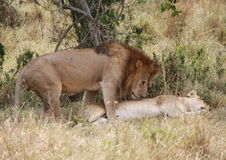 Lion and lioness mating Stock Photos