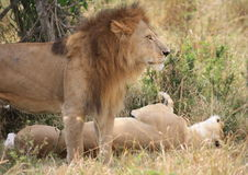 Lion and lioness mating Royalty Free Stock Images
