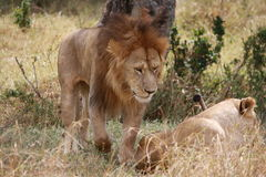 Lion and lioness mating Royalty Free Stock Photography