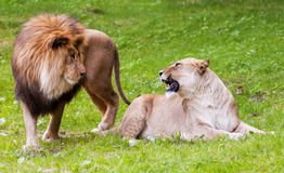 Lion and lioness. Lioness is not amused stock photos