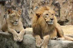 Lion, Lioness, Pair, Animal World Stock Photography