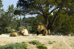 Lion and lioness (Panthera leo). A pair of lions in a French zoo royalty free stock image