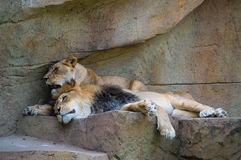 Lion and lioness (Panthera leo) resting together on a rock Stock Image