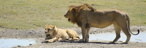 Lion and lioness - park national serengeti - Tanzania Stock Image