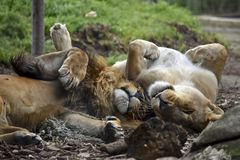 Lion and lioness. The lion and lioness are playing rolling around on the grass stock photo