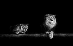Lion and lioness, Portrait of a Beautiful lions, lions in the da Stock Image