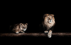 Lion and lioness, Portrait of a Beautiful lions, lions in the da Royalty Free Stock Photo