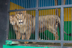 Lion and lioness put side by side in the cell mobile zoo. Stock Images