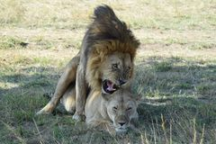 Lions mating. Lion and lioness reach the climax of their coupling Royalty Free Stock Photo