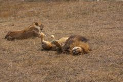 Lion and lioness relaxing in dry veld grass royalty free stock photo