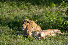 Lion and lioness relaxing on the grass Stock Photos