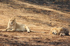 A Lion and  Lioness relaxing. Royalty Free Stock Image