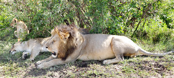 A lion and lioness relaxing Royalty Free Stock Photos