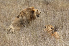 Lion and lioness resting royalty free stock photo