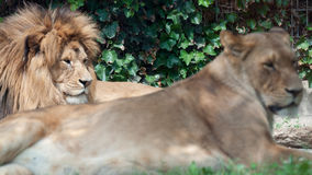 Lion and lioness resting Royalty Free Stock Image