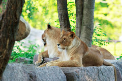 Lion and lioness rests Royalty Free Stock Photo