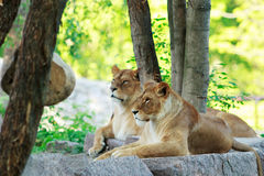 Lion and lioness rests Stock Image