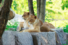 Lion and lioness rests Royalty Free Stock Images