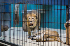 Lion and lioness. Lion roars in the cell Stock Image