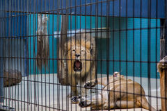 Lion and lioness. Lion roars in the cell Stock Images