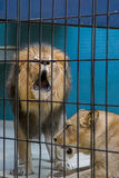 Lion and lioness. Lion roars in the cell Stock Photo