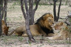 Lion and lioness in the Savana Stock Photos