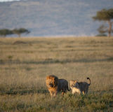 Lion and Lioness at the Serengeti National Park Stock Photos