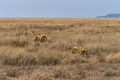 A Lion and Lioness in Serengeti National Park, Tanzania Royalty Free Stock Photography