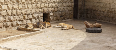 Lion and Lioness sleep after a hearty lunch at the zoo Stock Photography