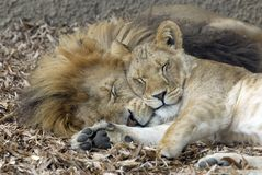 Lion and Lioness sleeping. Lion and Lioness together sleeping Stock Photo