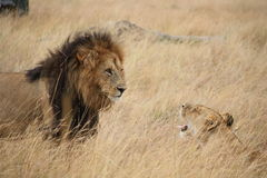 Lion and lioness stand off Royalty Free Stock Image