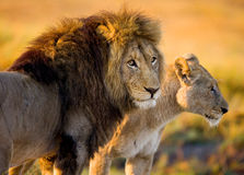 Lion and Lioness standing together. Botswana. Okavango Delta. Stock Images