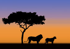 Lion and lioness in sunset. Acacia with lion and lioness in silhouette during sunrise in africa Royalty Free Stock Images