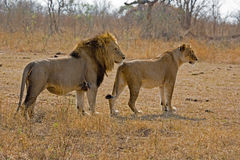 Lion and lioness together Royalty Free Stock Photo