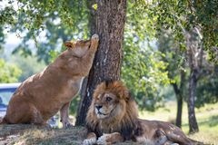 Lion and lioness beside a tree. /dangerous/couple/ carnivores stock image