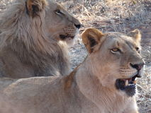 Lion and lioness Royalty Free Stock Photography