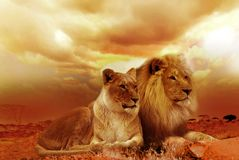 Lion and Lioness Under White Sky during Sunset Stock Photos