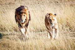 Lion and Lioness Walking Towards Camera Stock Photography