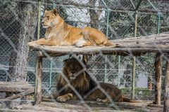 Lion and lioness in a zoo Stock Images