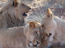 Lion and lionesses Stock Photography