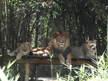 Lion With Lionesses. Royalty Free Stock Photography