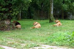 Lion and lionesses Royalty Free Stock Photography