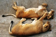 Lion and lionesss sleep on grey stone surface