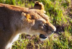 Lion. S Royalty Free Stock Images