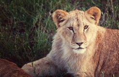 Lion. S Royalty Free Stock Photo